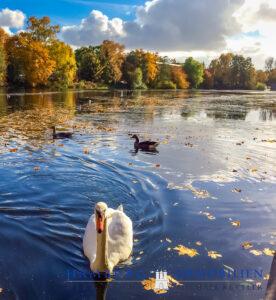 Herbstimpression Rathsmühlenteich Schwan auf Wasser