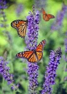Schmetterlinge in Reinbek